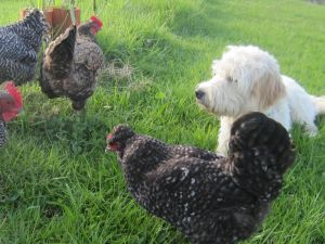 Chino & the chickens