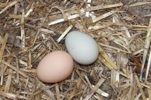bantam eggs