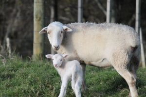 our ewe and lamb