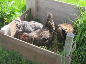 the chickens and their compost bin