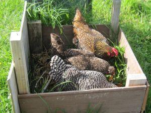 chicken compost bin