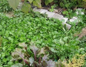 Making pesto from the garden